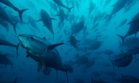 The 'endangered' bluefin tuna: 'Many high seas fisheries have little or no protection.' Photograph: Brian J. Skerry/Getty Images/National Geographic
