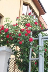 Roses adorn many houses in towns such as Asenovgrad