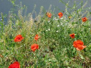 Poppies of Plovdiv.Photo by Graciete Amaro